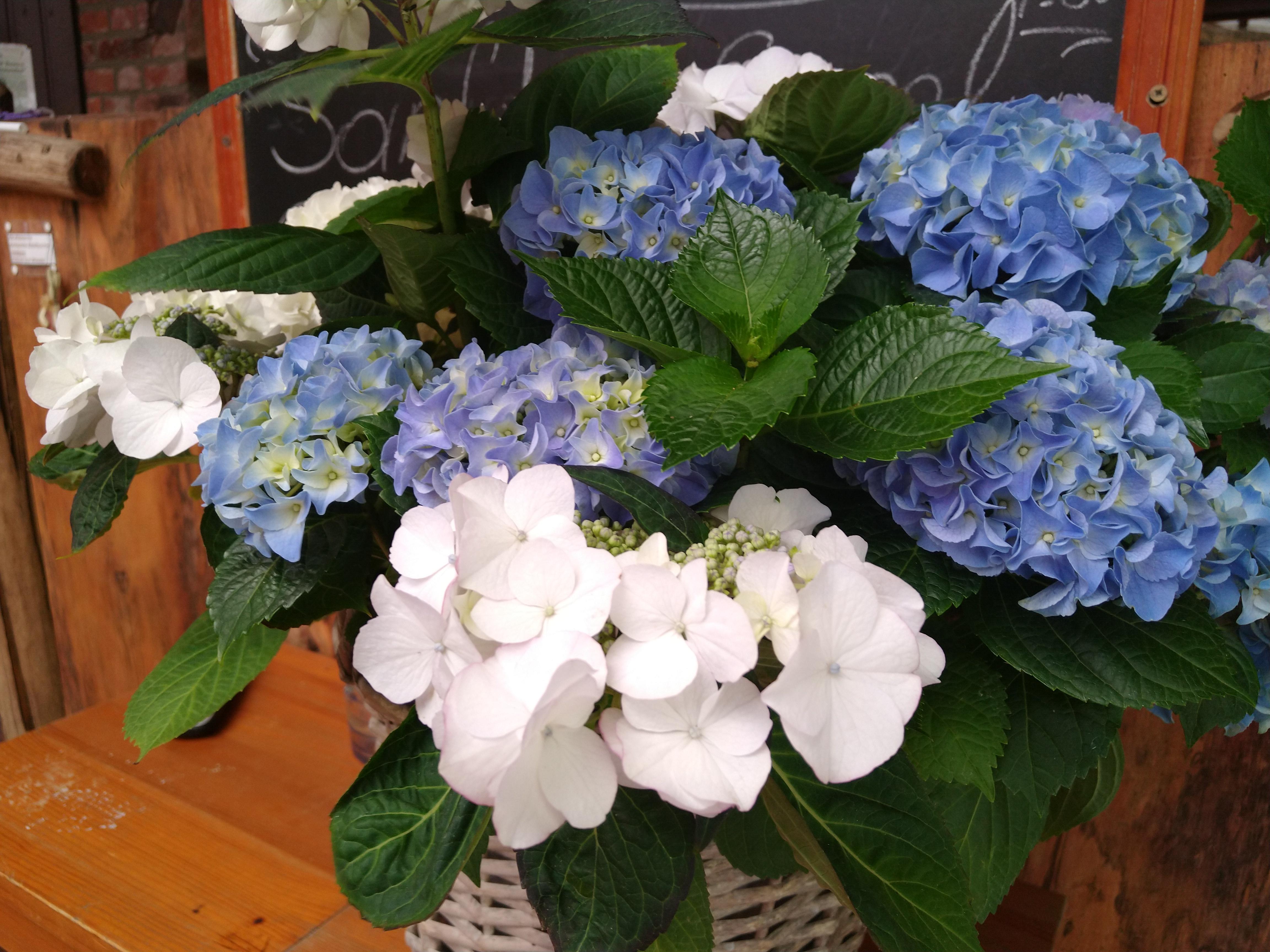 Weiße und blaue Hortensien