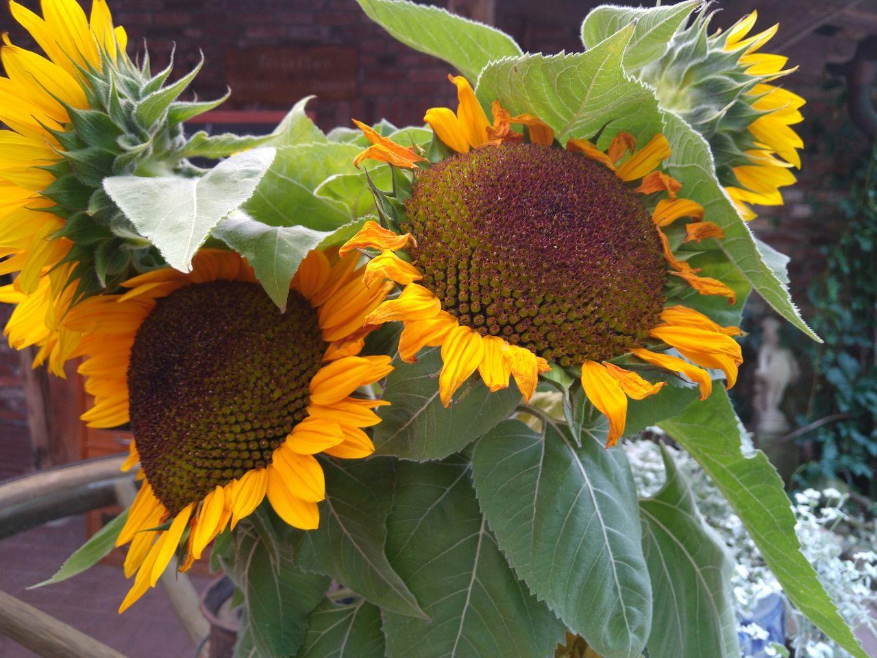 Große Sonnenblumen